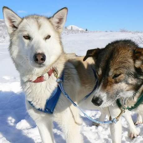 Hundeschlitten Yukon
