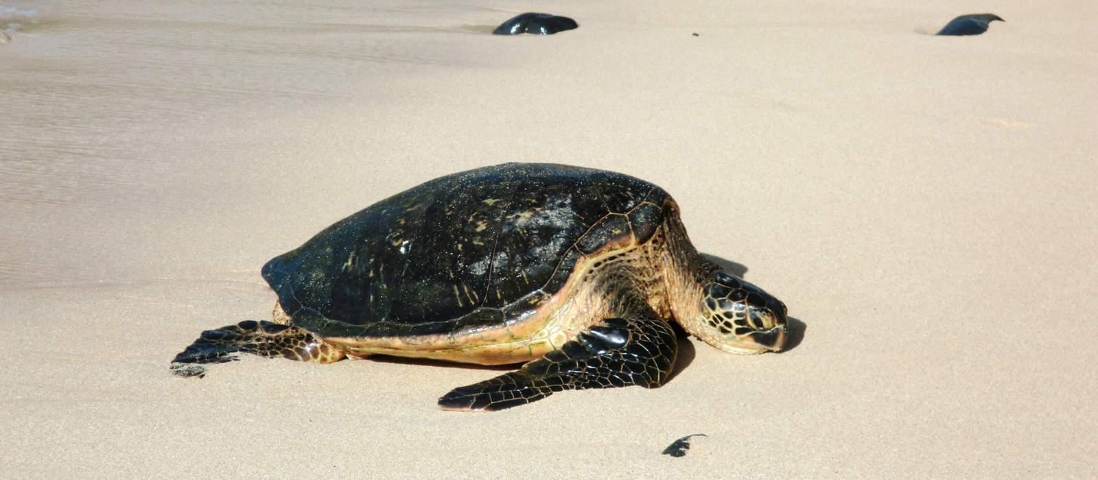 Schildkröte im Hookipa Beach Park