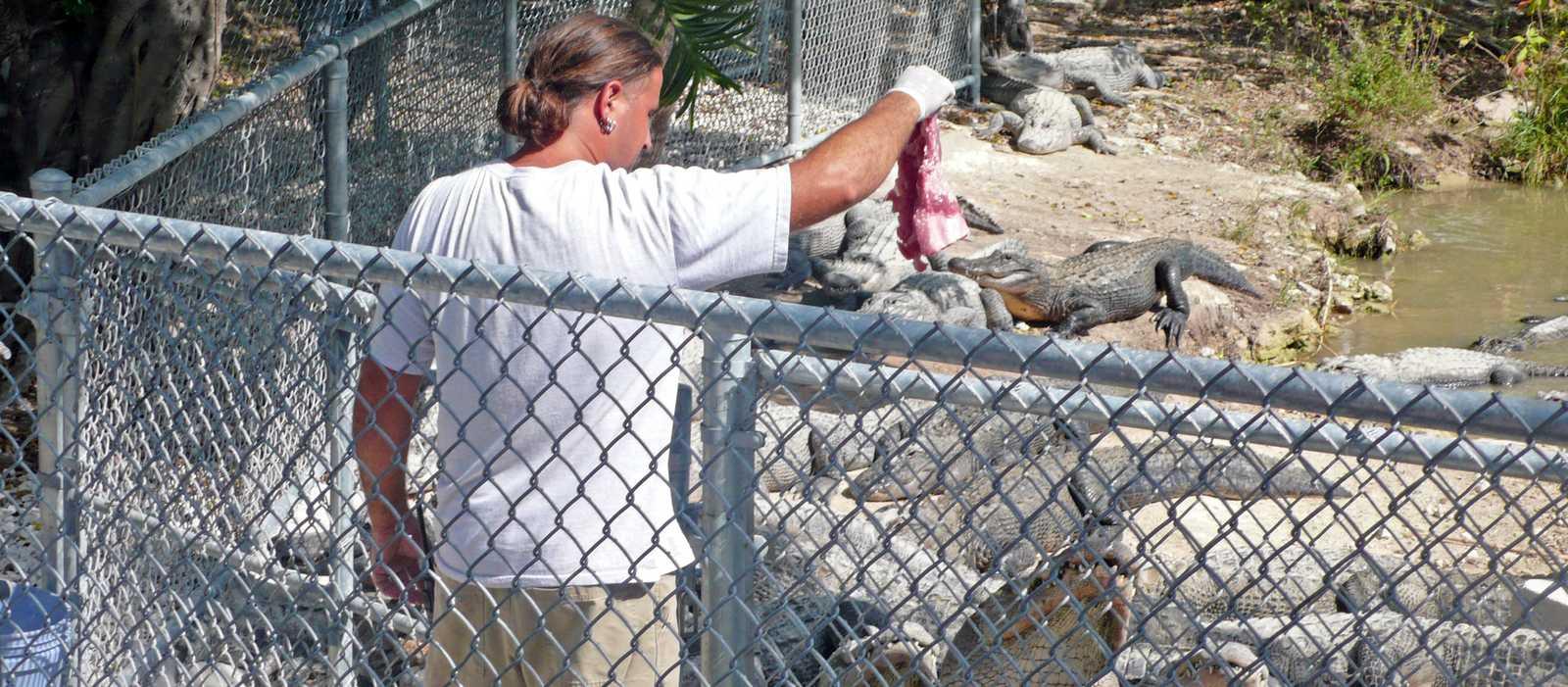Fuetterung in der Everglades Alligator Farm