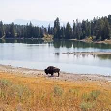 Bison am See im Yellowstone Nationalpark