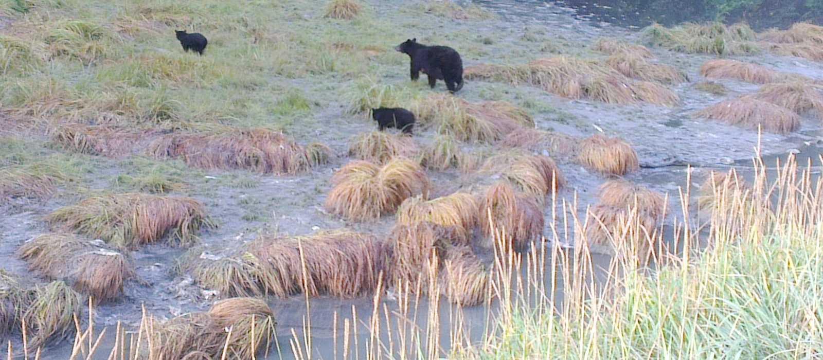 Schwarzbären am Wasserlauf