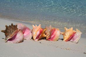 Muscheln auf den ExumasMuscheln am Strand von Compass Cay, Exumas