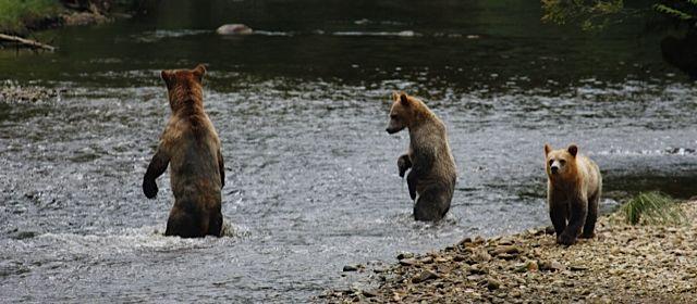 Grizzlies in Glendale Cove