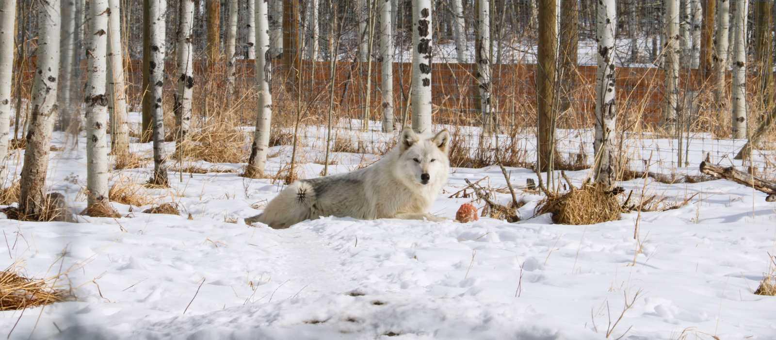 Wolfshund im  Yamnuska Wolfdog Sanctuary