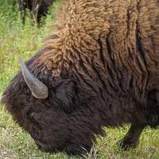 Ein Bison im Riding-Mountain-Nationalpark in Manitoba