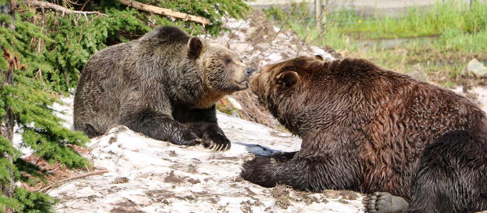 Die beiden Bären Grinder und Coola auf dem Grouse Mountain in Vancouver