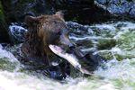 Anan Creek/Wrangell