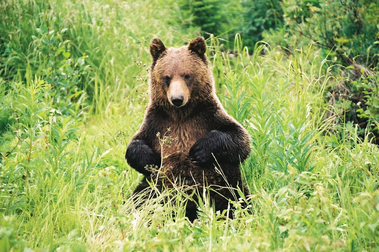 Grizzly Bär im Banff National Park