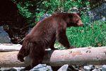 Bear Watching at Duchesnay