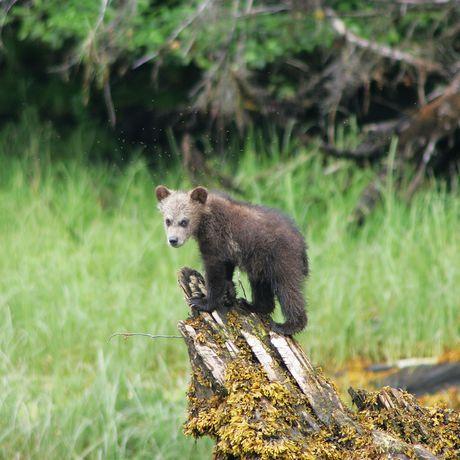 Impressionen Grizzly-Bären-Beobachtung in Khutzeymateen
