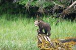 Grizzly-Bären-Beobachtung