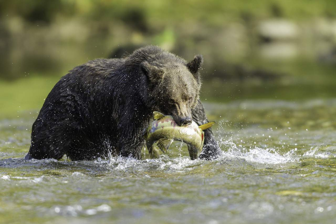 Grizzly beim Lachsfang erfolgreich