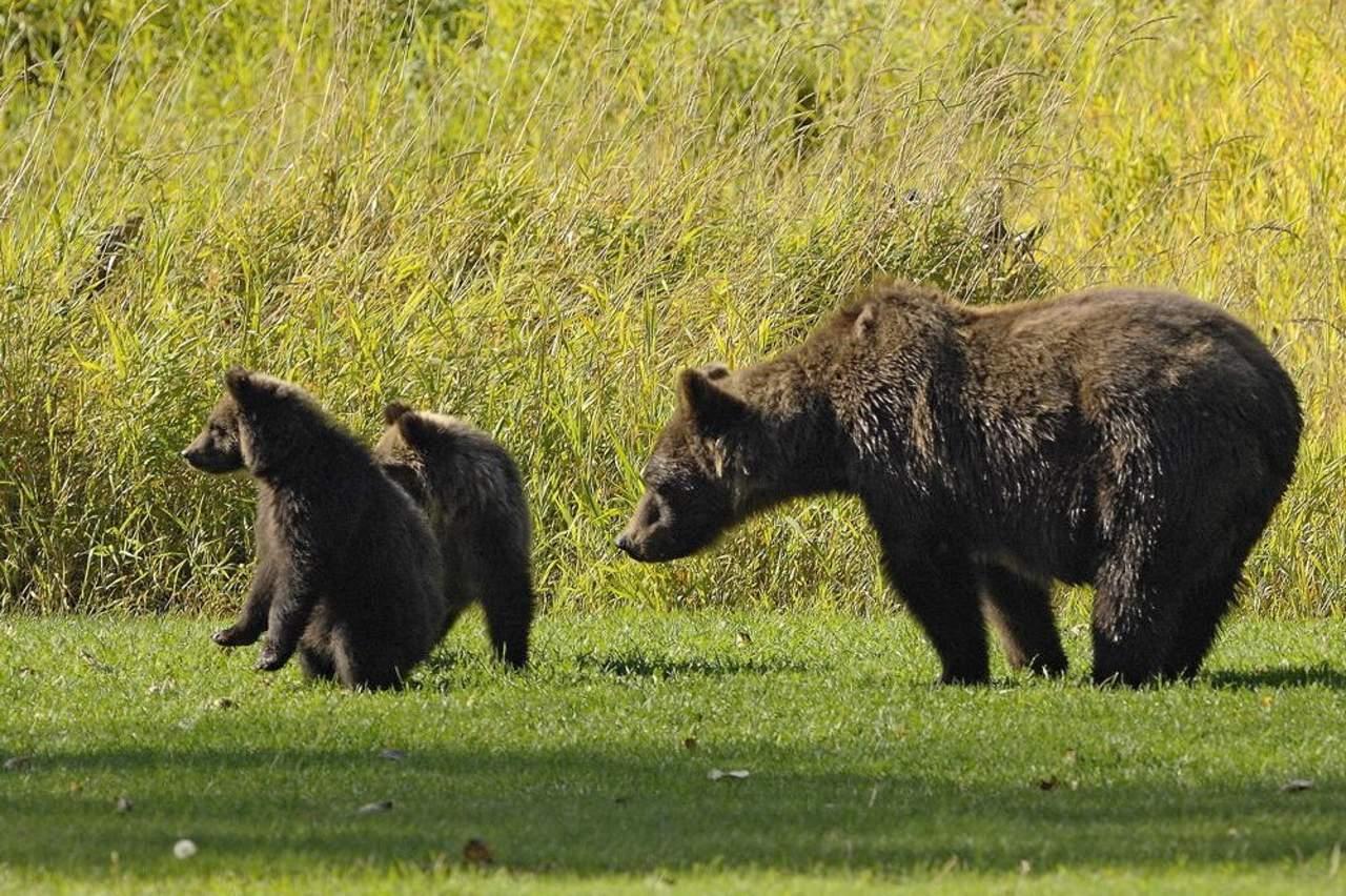 Impressionen Bärenbeobachtung Tweedsmuir Park Lodge