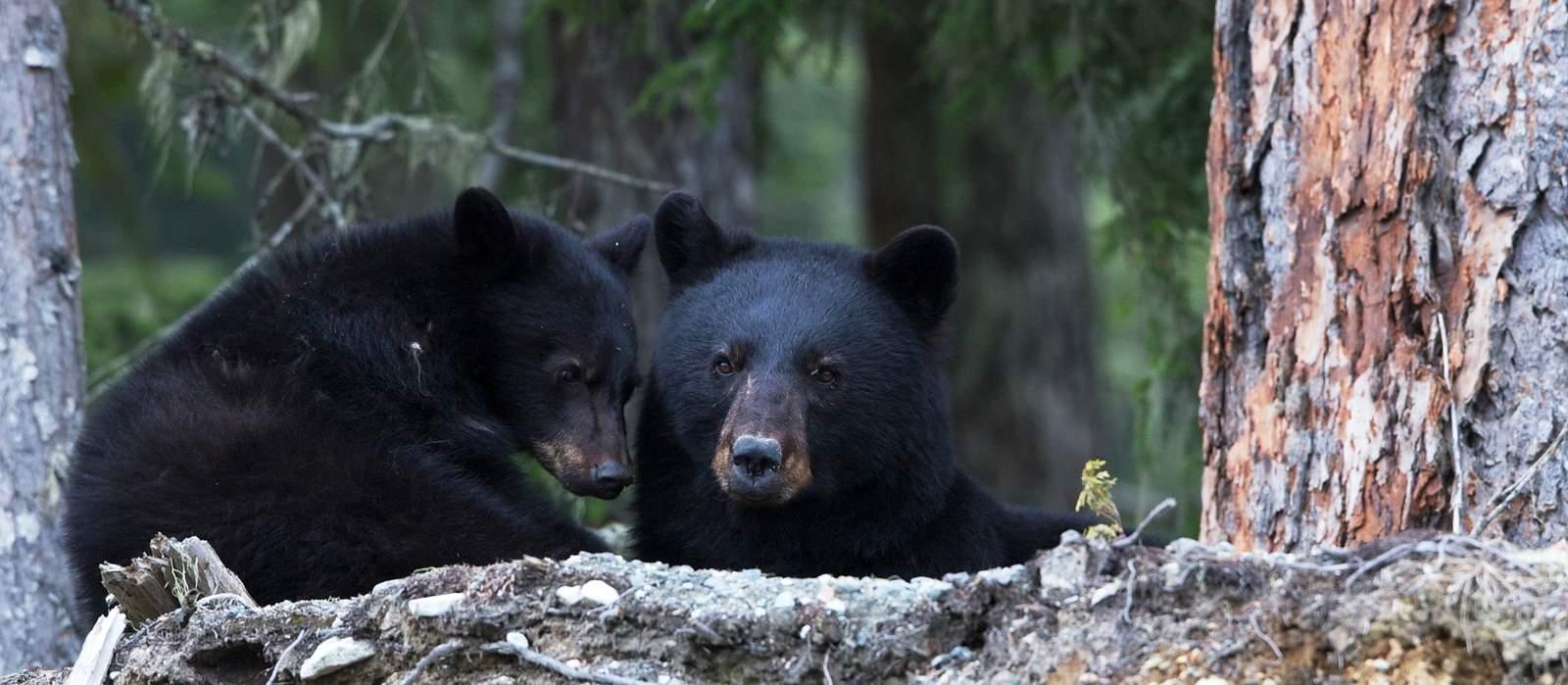 Impressionen Whistler Bärenbeobachtungstour