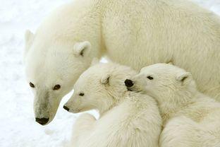 Manitoba Saskatchewan: Eisbärenkampf