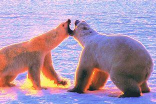 Manitoba Saskatchewan: Eisbärenfamilie