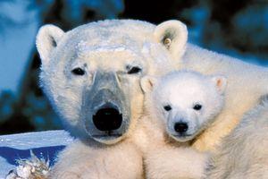 Eisbären in Churchhill, Manitoba Kanada