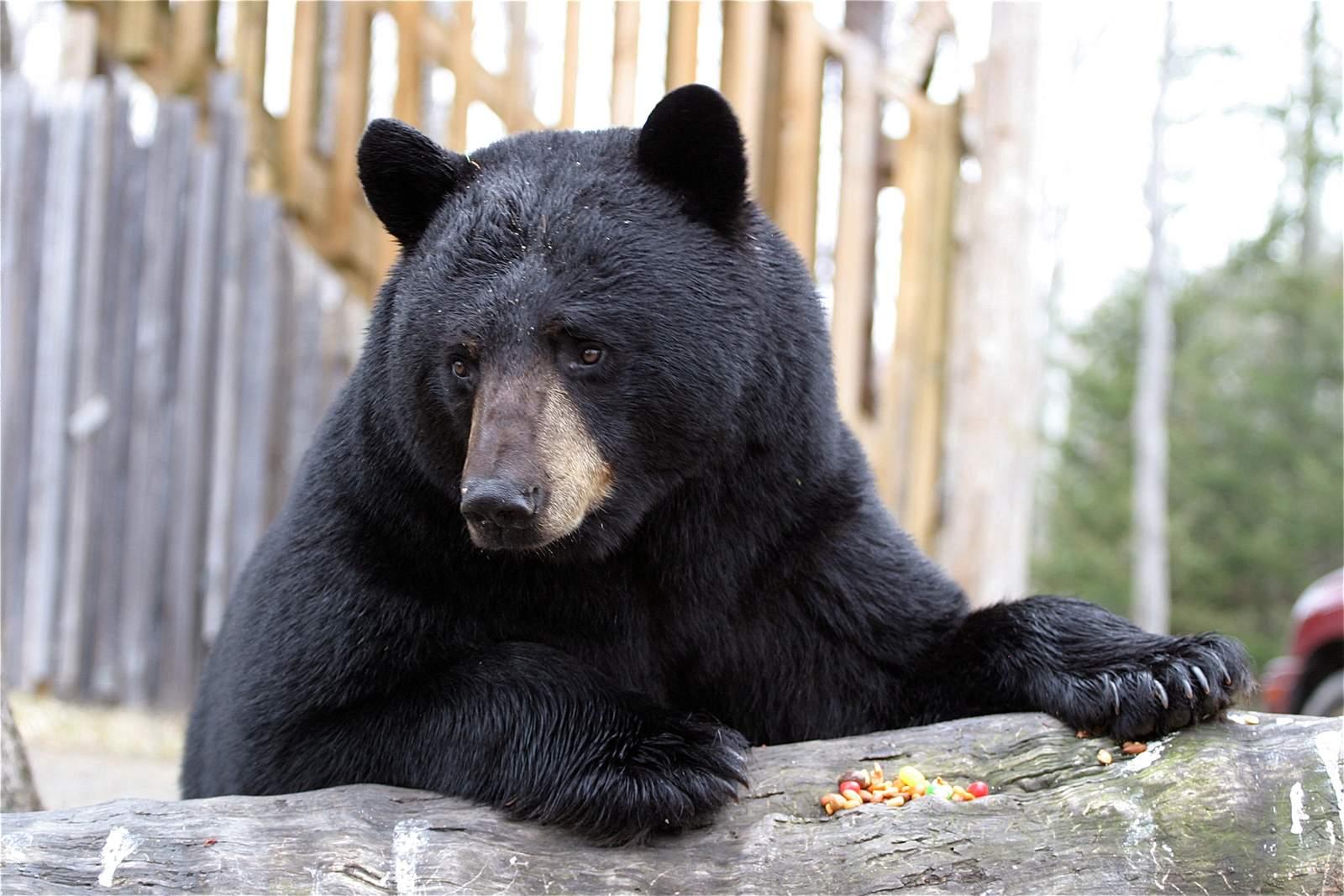 """Little Big Bear Safari Bärenbeobachtung, ausgewachsener Bär """"Charlo"""""""