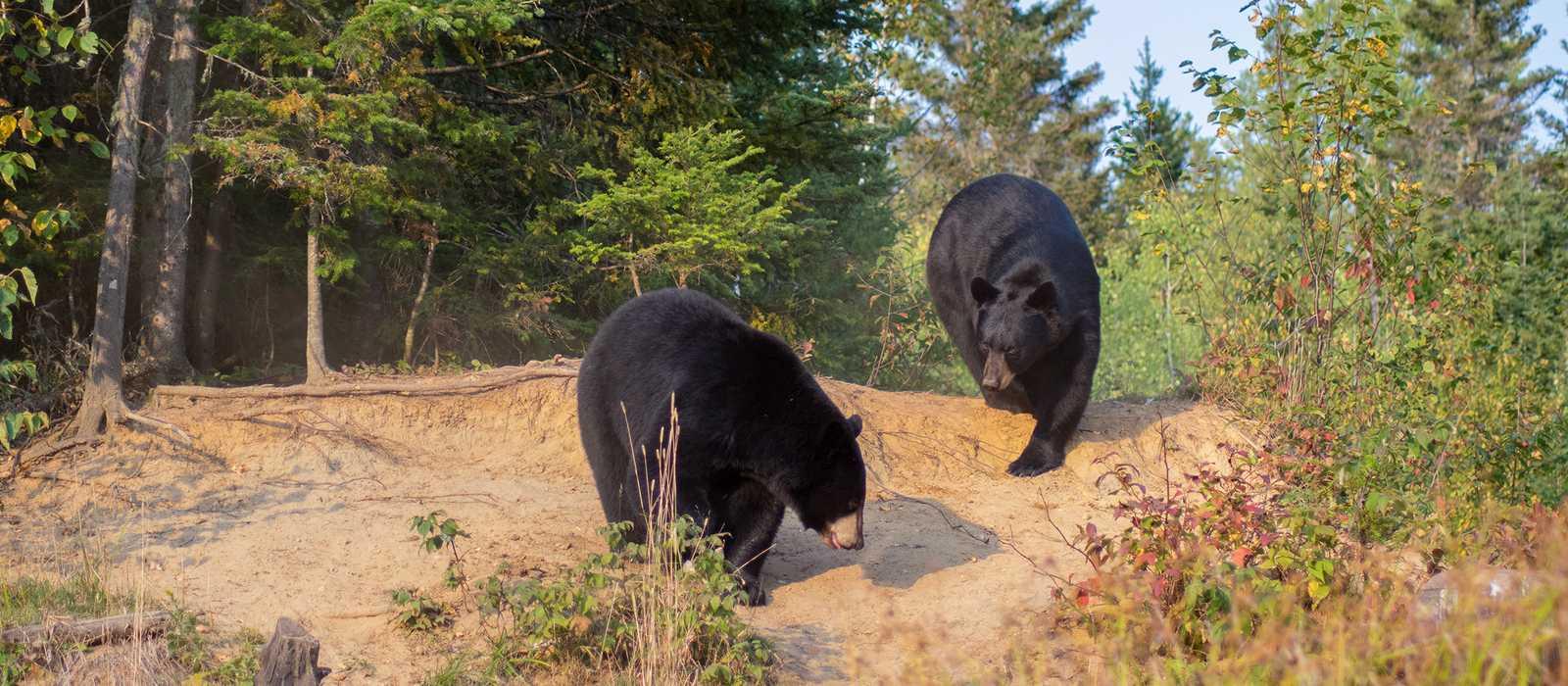 Schwarzbären-Beobachtung ab Sacré-Coeur in Québec mit dem Anbieter Ferme 5 Étoiles