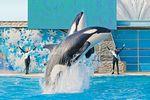 Orlando SeaWorld Orca