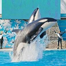 Springende Orcas