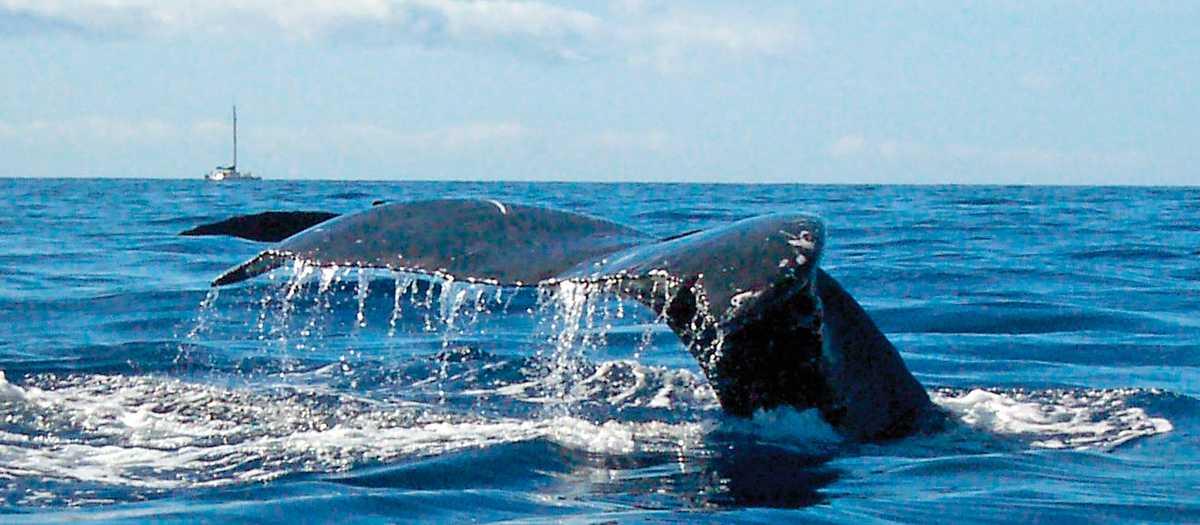 Walbeobachtung vor Lahaina