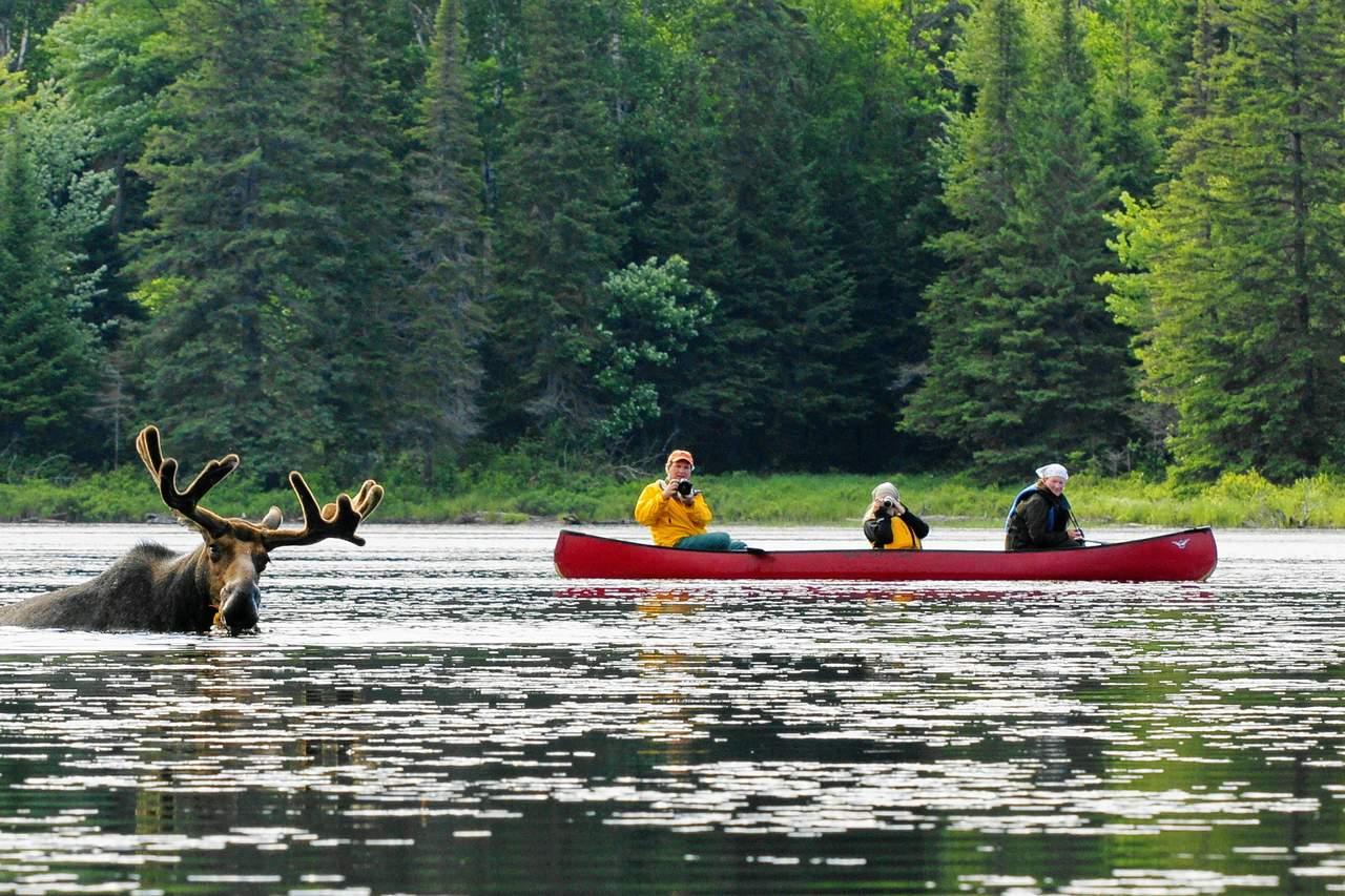 Elch badet im Algonquin Provincial Park
