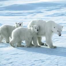 Eisbaerenfamilie unterwegs