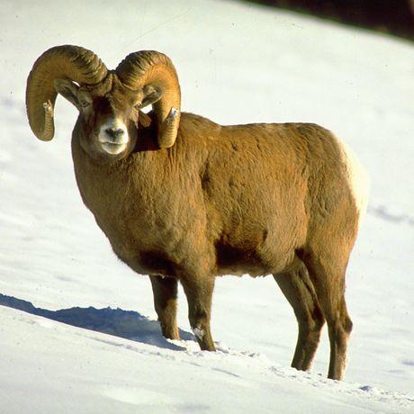 Bighorn Sheep auf der Banff and its Wildlife Tour in Alberta, British Columbia