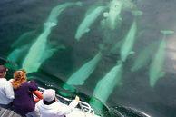 Kanada Manitoba & Saskatechwan Routenvorschläge: Beluga-Wale in der Hudson Bay