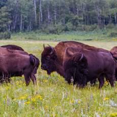 Bison Herd, Manitoba