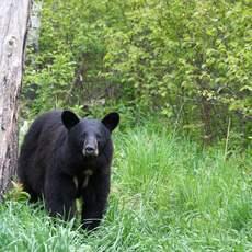 Black Bear, Big Five Safari, Canada