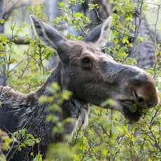 Moose, Close Up