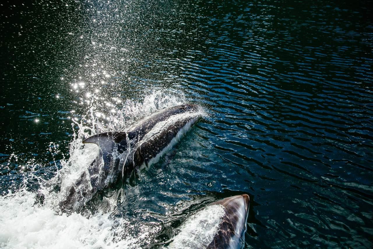 Delfine beim Nimmo Bay Wilderness Resort