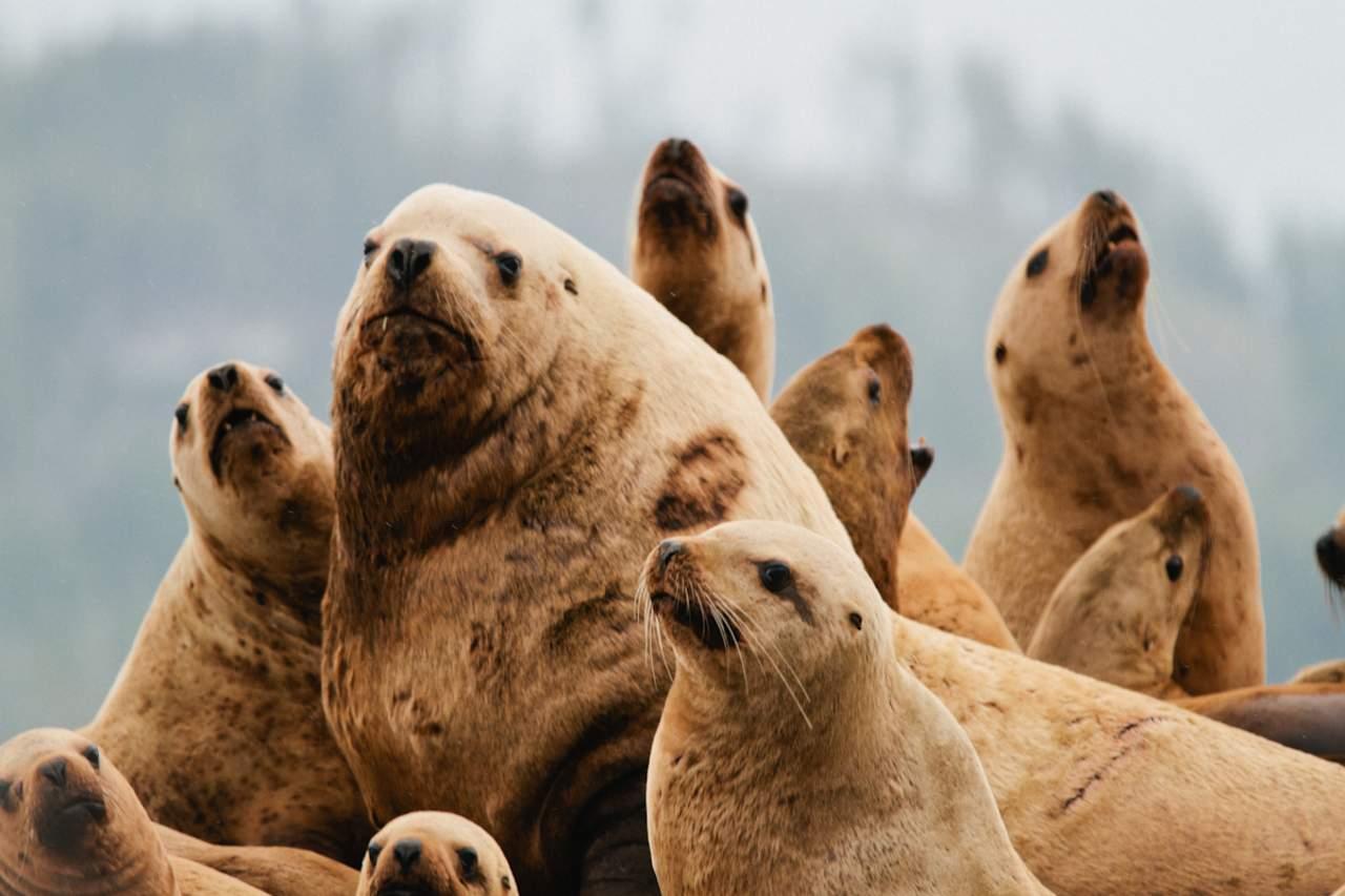 See-Löwen beim Nimmo Bay Wilderness Resort