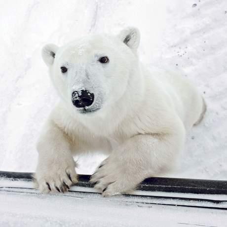 Eisbaer lehnt am Tundra Buggy