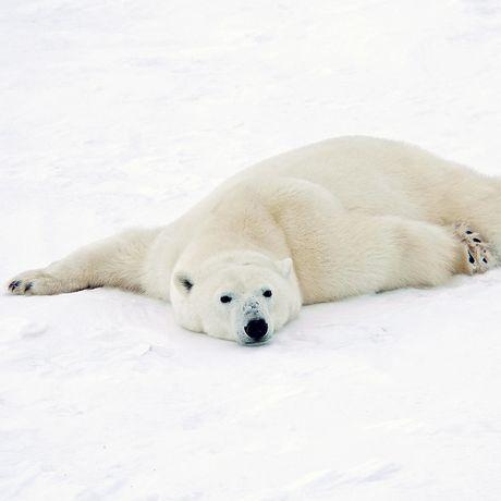 Eisbaer liegt im Schnee