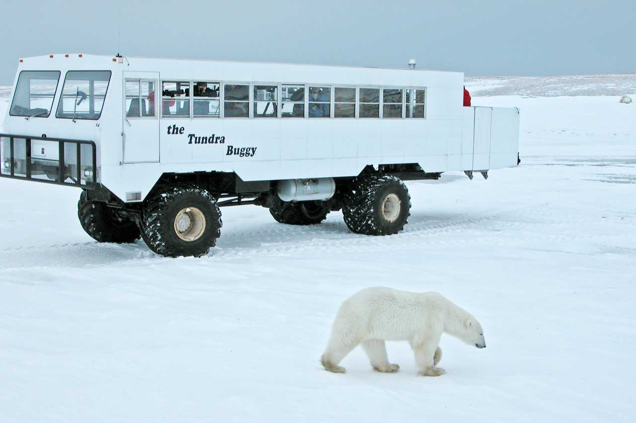 Eisbaer vor Tundra Buggy