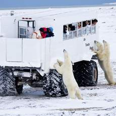 Eisbaeren am TUndra Buggy