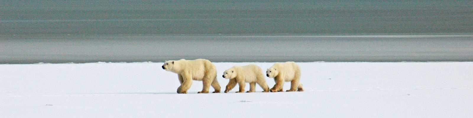 Eisbaerenmutter mit Kindern