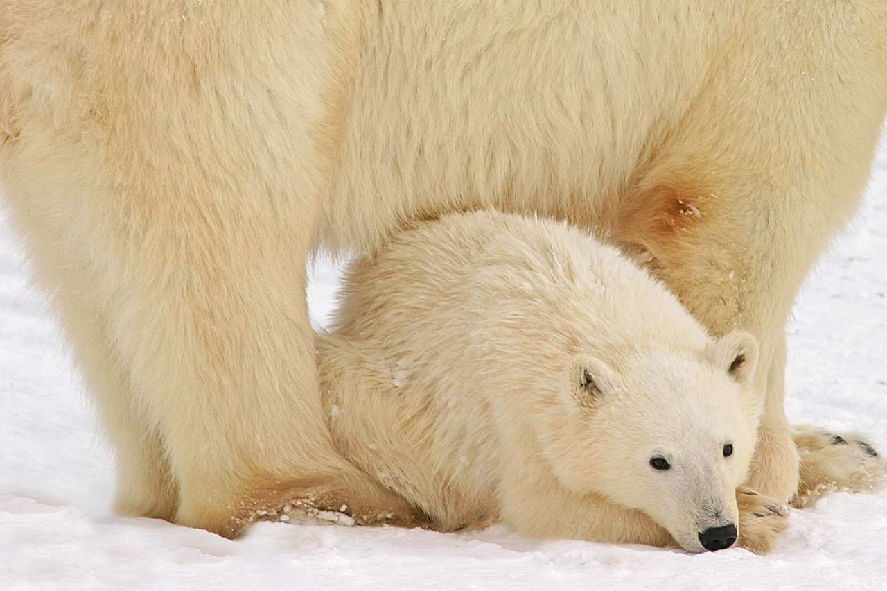 Eisbaerenkind schlaeft unter seiner Mutter