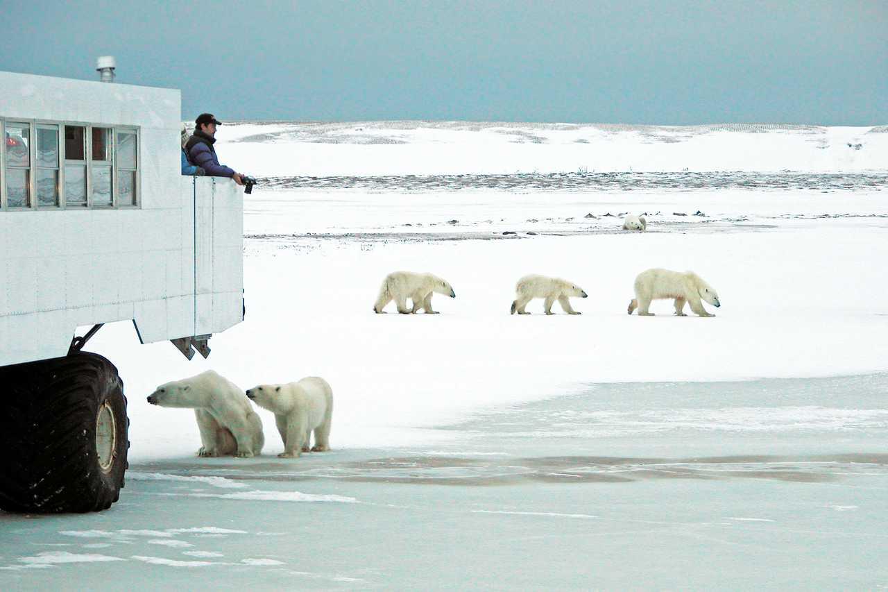 sechs Eisbaeren vor Buggy