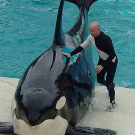 Ein Orca mit seinem Trainer während einer Show im Seaworld San Diego