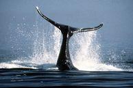 Wale in Ihrem Boston Urlaub beobachten