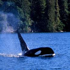 Orca, whale watching near Tofino