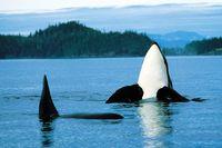Orcas vor Vancouver beobachten