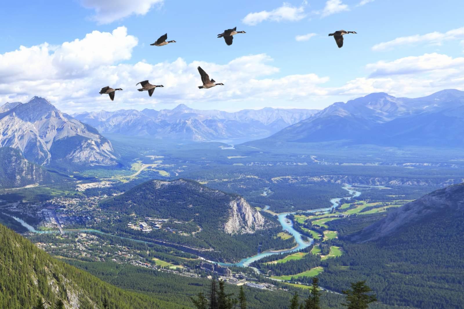 Kanadische Wildgänse im Banff Nationalpark