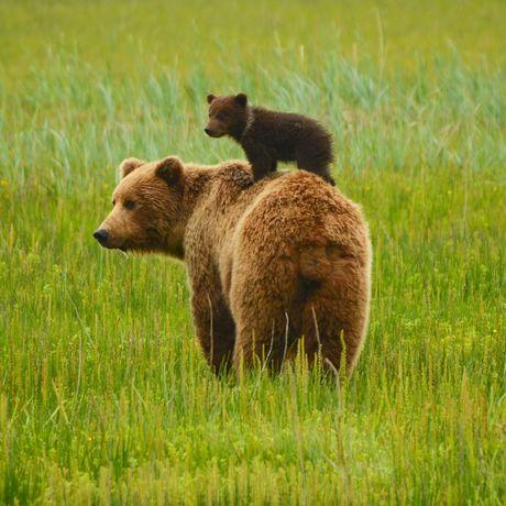 Bärenmutter mit Jungtier im Gras in Alaska
