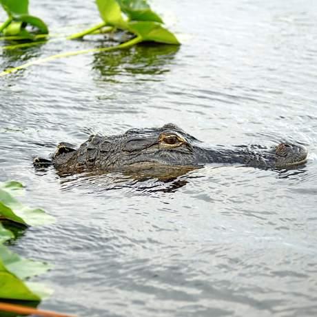 Alligator im Wasser im Everglades Nationalpark