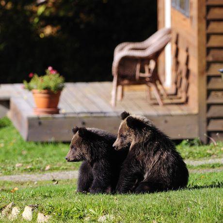 Tweedmuir Park Lodge, Grizzlybären vor der Lodge